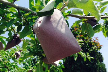 Organic Guide To Growing Apples: Bagging Apples
